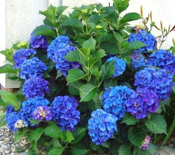 Гортензия крупнолистная Никко Блю (Nikko Blue) саженцы