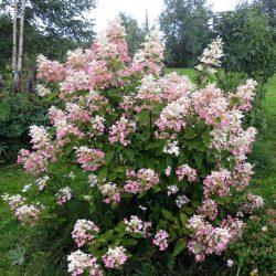 Гортензия метельчатая Пинк Даймонд (Pink Diamond) саженцы