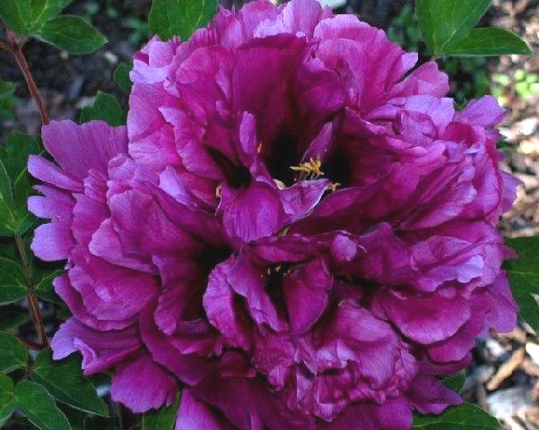 Пион Пурпурная ночь