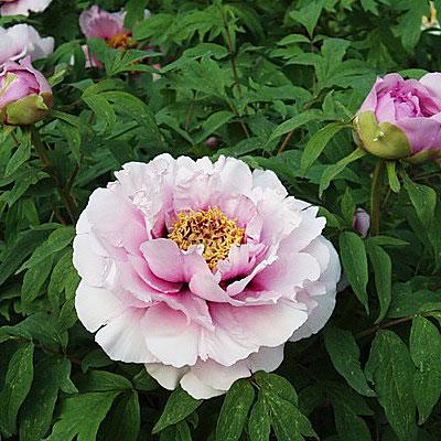 Пион Розовая Пудра саженцы