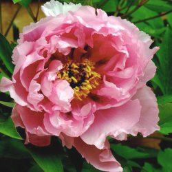 Пион Розовый Лотос
