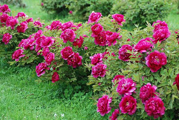 Пион Цветы Дракона саженцы