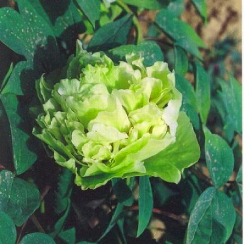 Пион Зеленые Бобы