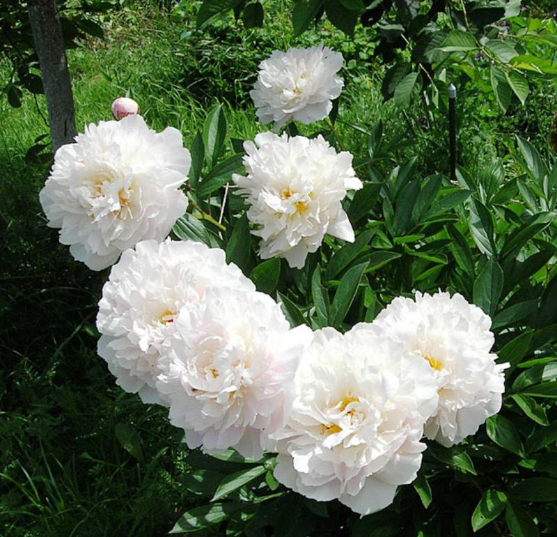 Пион травянистый Гардения (Gardenia) саженцы