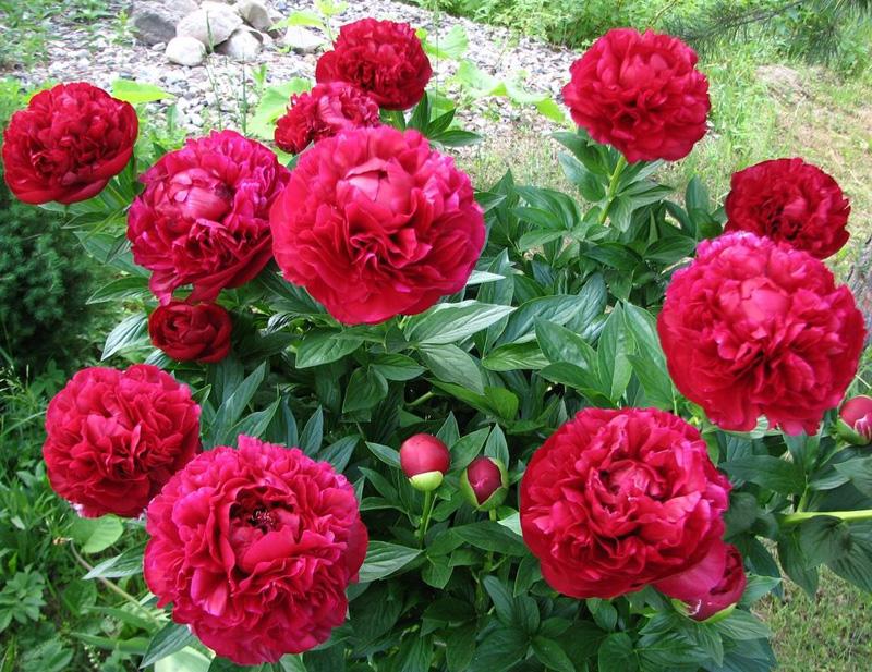 Пион травянистый Генри Бокстос (Paeonia Henry Bockstoce) саженцы