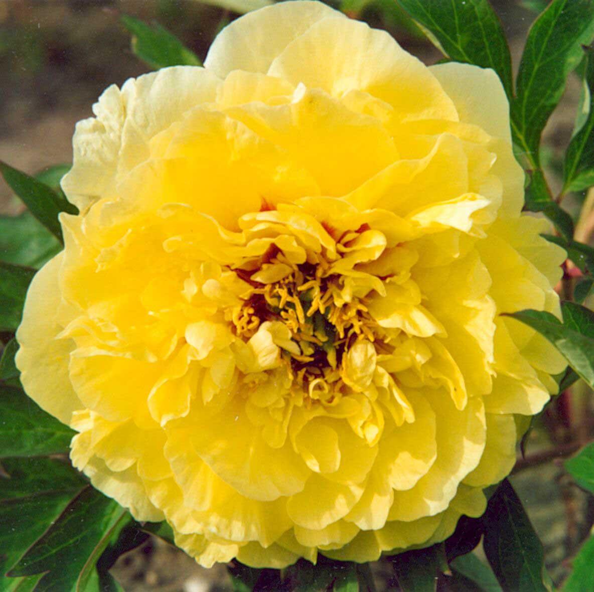 Пион травянистый ИТО-гибрид Йеллоу Краун (Yellow Crown)