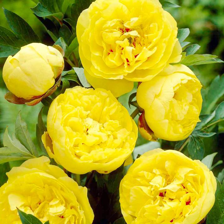 Пион травянистый ИТО-гибрид Йеллоу Краун (Yellow Crown) купить