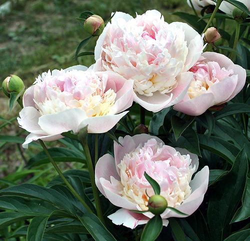 Пион травянистый Расберри Санде (Raspberry Sundae) саженцы