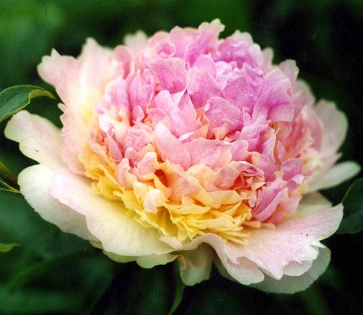 Пион травянистый Расберри Санде (Raspberry Sundae)