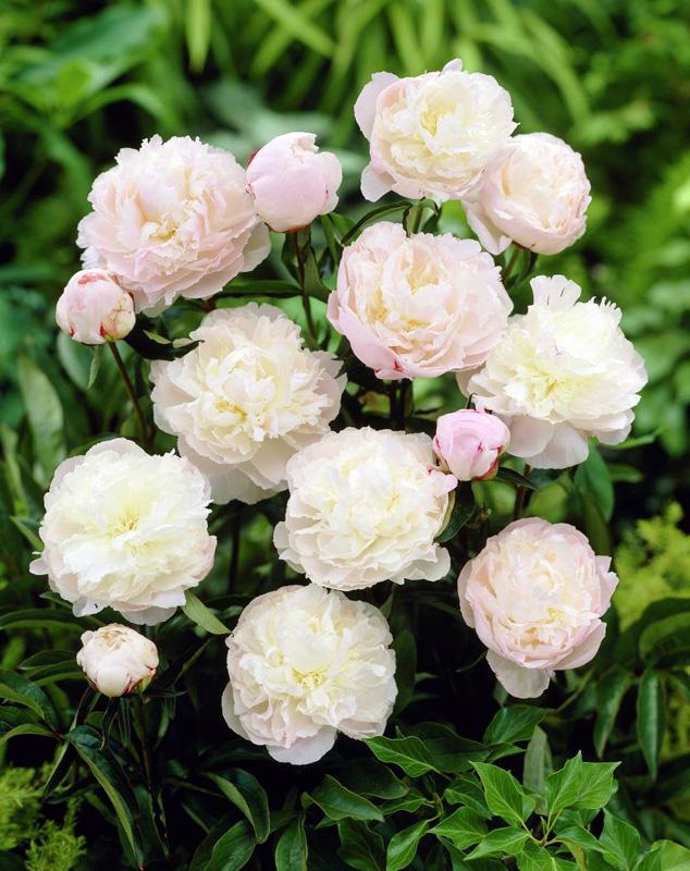 Пион травянистый Ширли Темпл (Shirley Temple) саженцы