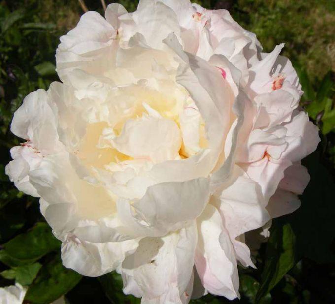 Пион травянистый Ширли Темпл (Shirley Temple)