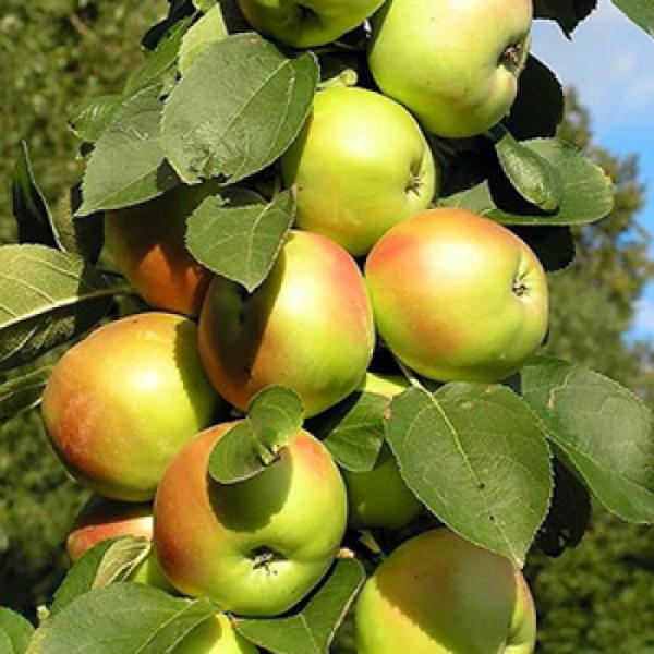 Яблоня колоновидная Янтарное ожерелье