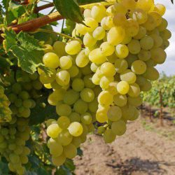 виноград элегант сверхранний