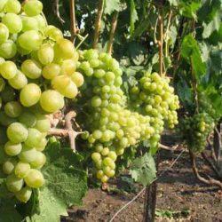 виноград элегант сверхранний купить