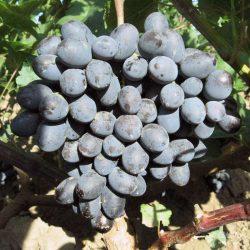 виноград гала