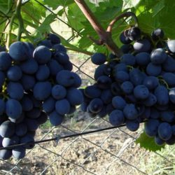 виноград гала саженцы