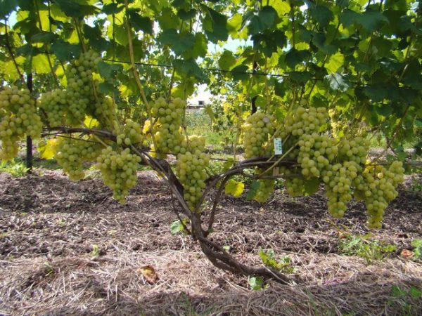 виноград лора саженцы