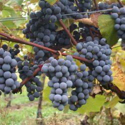 виноград муромец саженцы