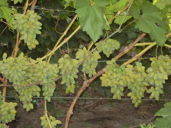 виноград мускат летний саженцы