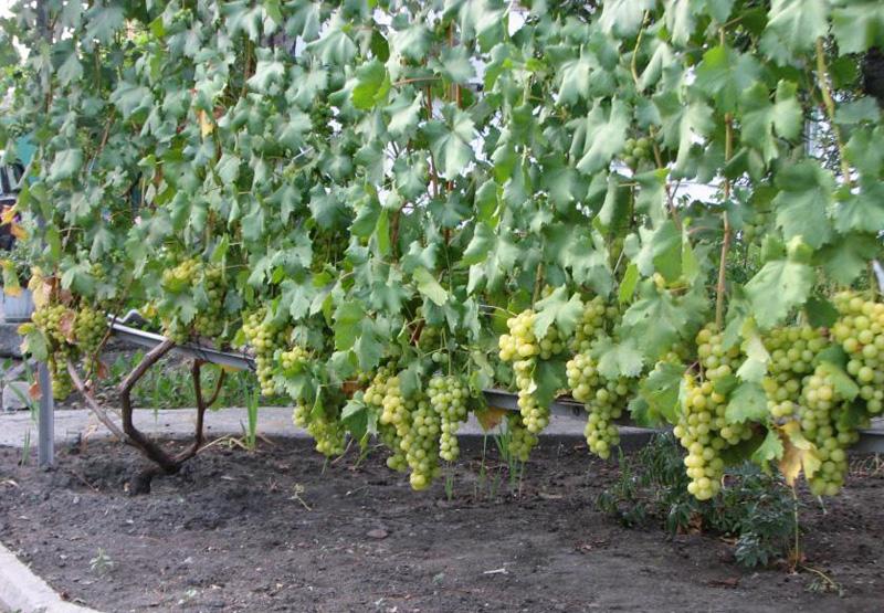 виноград мускат янтарный саженцы