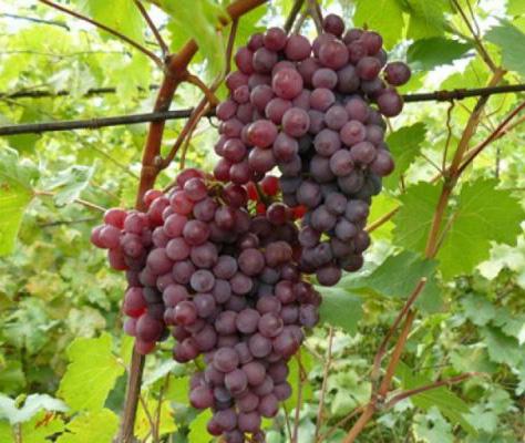 виноград русский ранний (Конфетка)