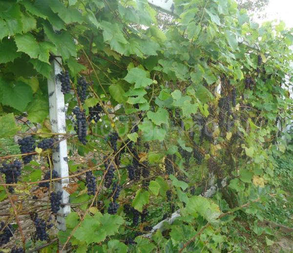 виноград сорт северный сладкий саженцы