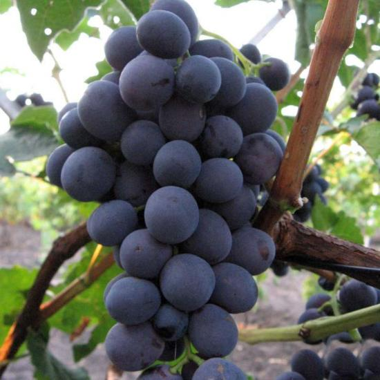 виноград сорт северный сладкий