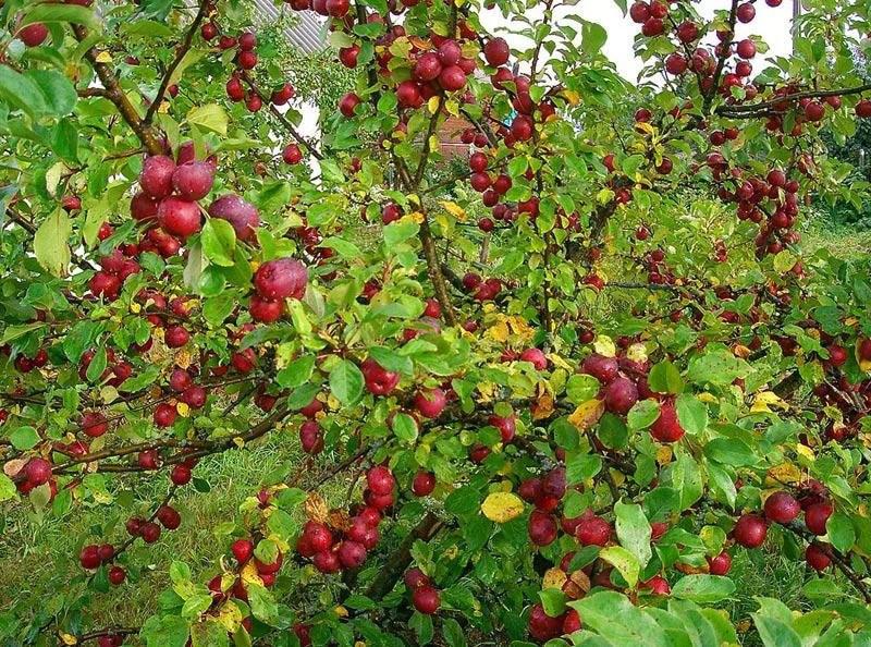 яблоня китайка керр саженцы