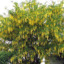 Бобовник альпийский (Laburnum alpinum)