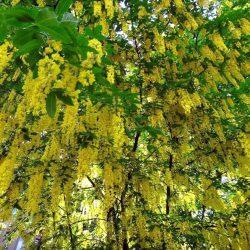 Бобовник альпийский (Laburnum alpinum) саженцы