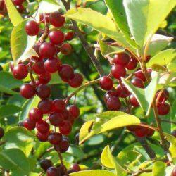 Черемуха Виргинская (Prunus virginiana) купить