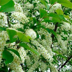 Черемуха Виргинская (Prunus virginiana) саженцы