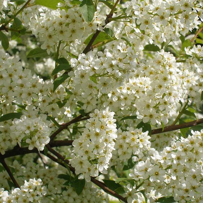 Черёмуха обыкновенная (Prunus padus) саженцы