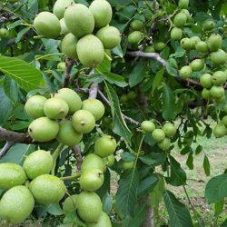 Грецкий орех Кочерженко саженцы