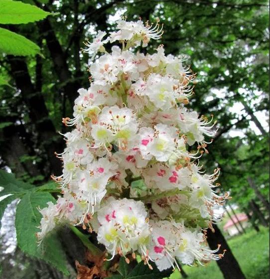 Каштан конский Пирамидалис (Aesculus hippocastanum Pyramidalis)
