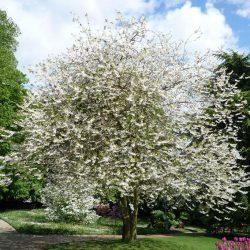 Ландышевое дерево Галезия Каролинская (Halesia Carolina)