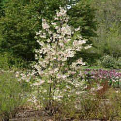 Ландышевое дерево Галезия Каролинская Розеа (Пинк)