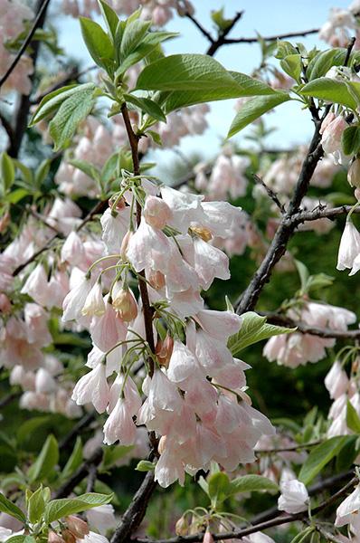 Ландышевое дерево Галезия Каролинская Розеа (Пинк) купить