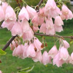 Ландышевое дерево Галезия Каролинская Розеа (Пинк) саженцы