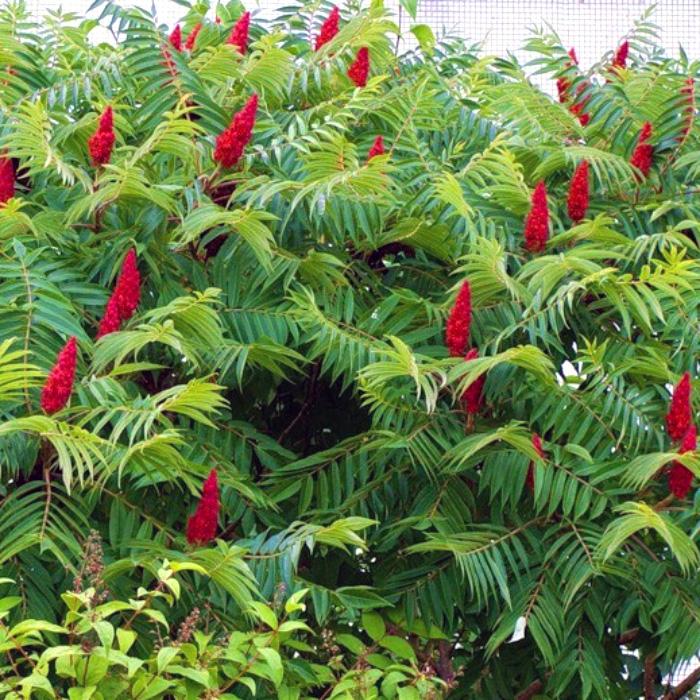 Сумах оленерогий (или Пушистый, Уксусное дерево) саженцы