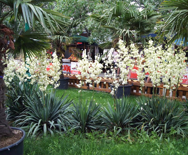 Юкка Нитчатая (Yucca Filamentosa) садовая