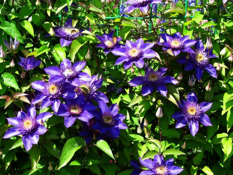Клематис Мульти Блю (Multi Blue) саженцы
