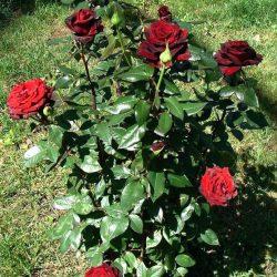 Роза Черная магия (Black magic) саженцы