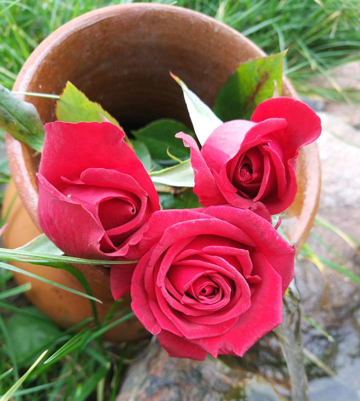 Роза Черри Лав (Cherry Love) саженцы