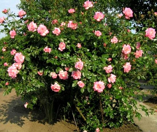 Роза Хендель (Handel) купить