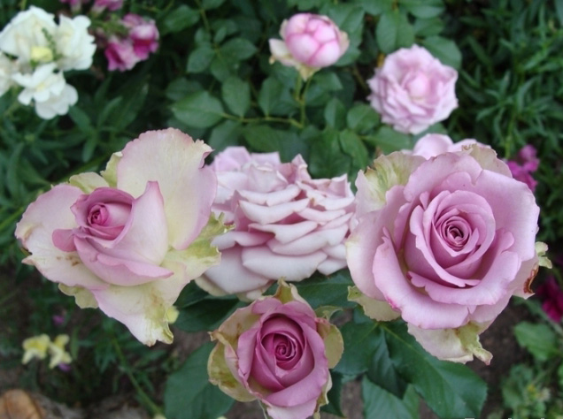 Роза Кул Ватер (или Уотер, Холодная вода, Cool water) саженцы