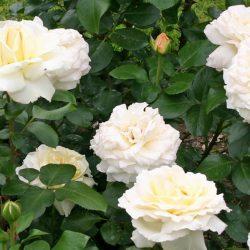Роза Ла перла (La perla) саженцы