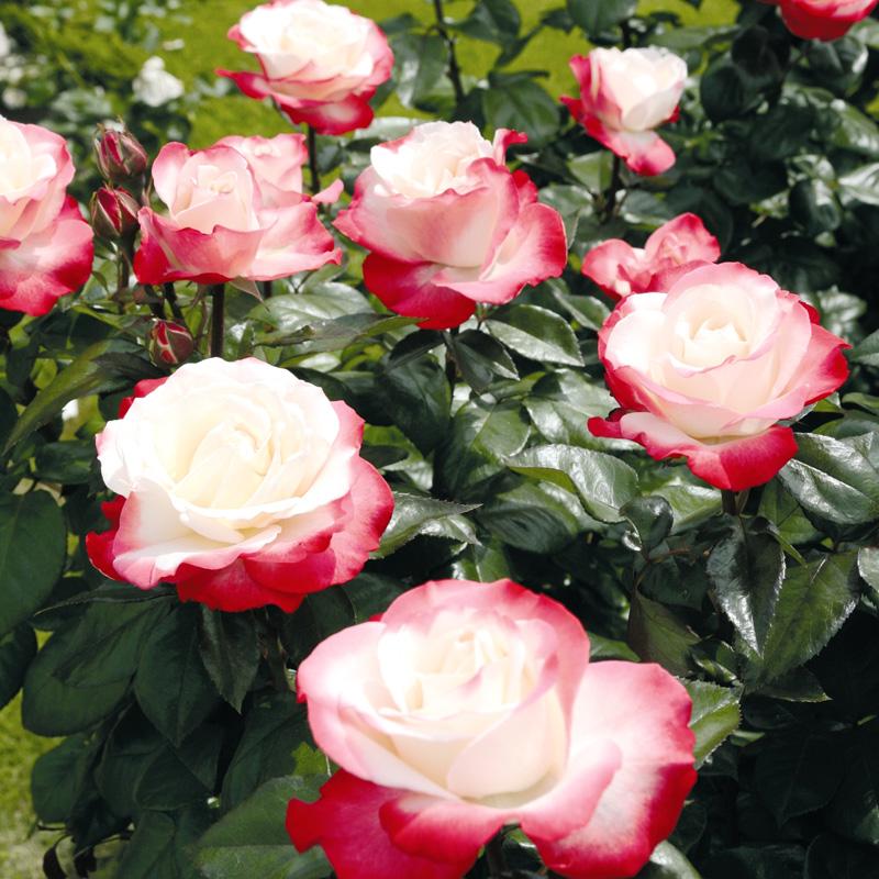 Роза Ностальжи (Ностальгия, Nostalgie) саженцы
