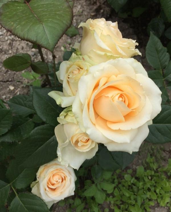 Роза Пич Аваланш (или Аваланж, Peach Avalanche) саженцы