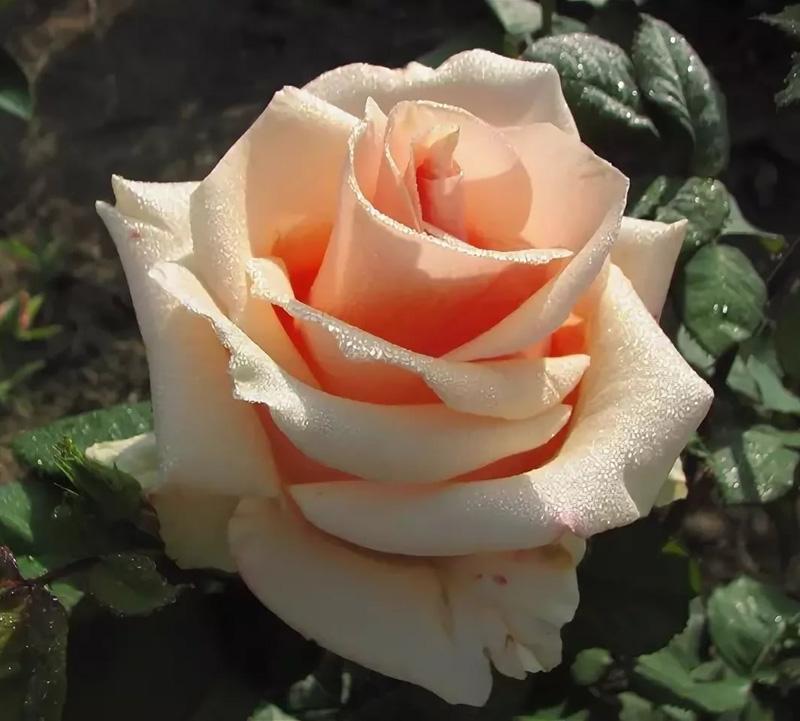 Роза Примадонна (Primadonna)